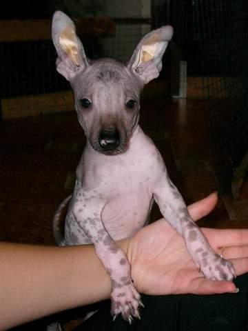Parduodami kilmingi Meksikiečių plikieji šuniukai