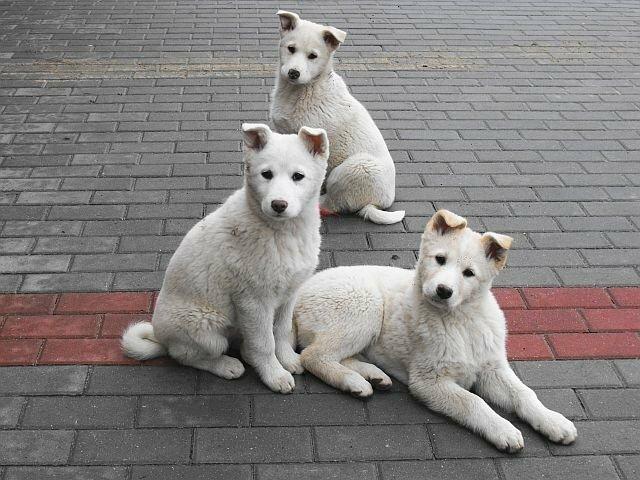 Parduodu Vakarų Sibiro Laikos baltus 3 mėn. šuniukus