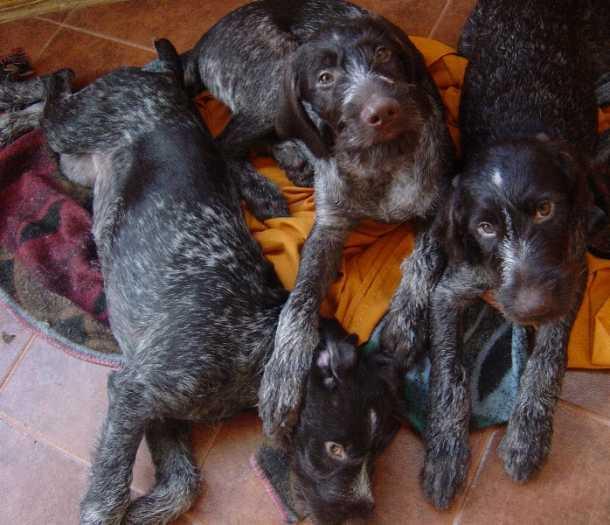 Parduodu dratharo veisles šuniukai