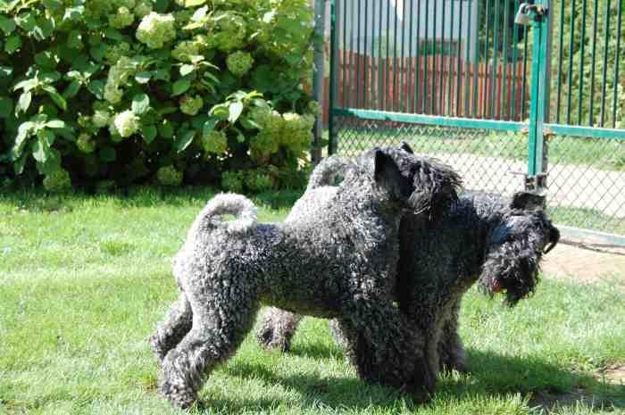 Parduodu keribliūterjero (kerry blue terrier) šuniukus