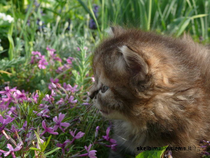 Parduodu persų ir egzotų veislės kačiukus