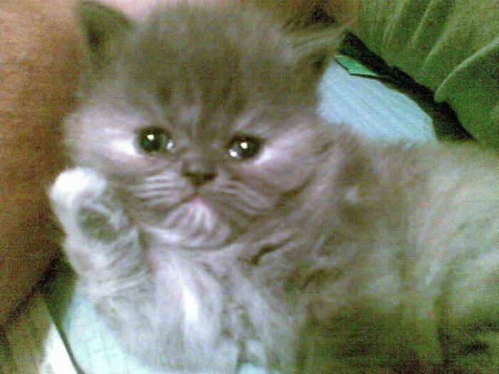 Persu katytė