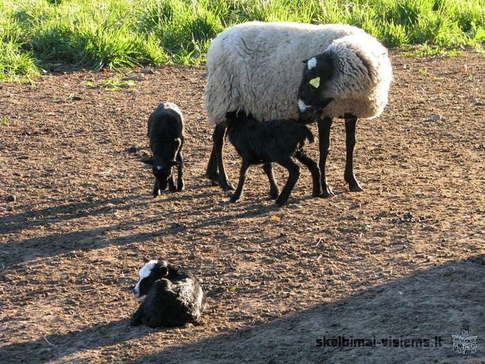 Romanovo veisles ėriukai ir avys, mėsai ir veislei.