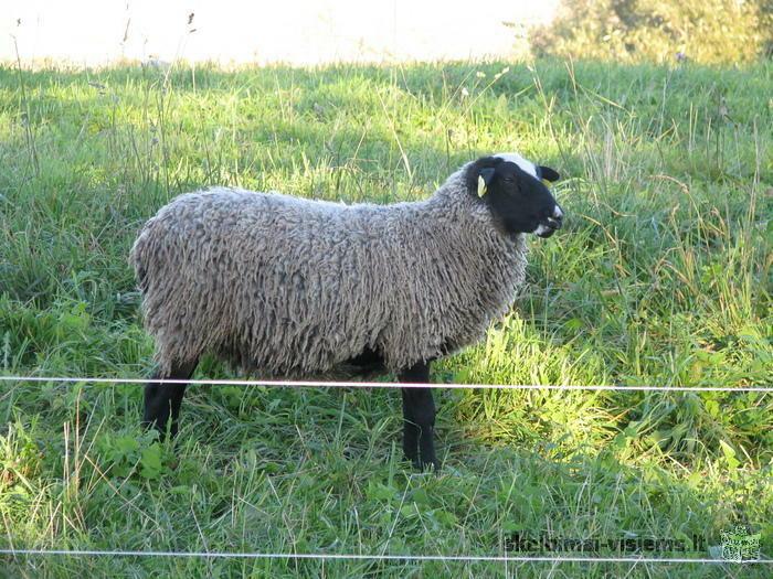 Romanovo veisles ėriukai ir avys, mėsai ir veislei