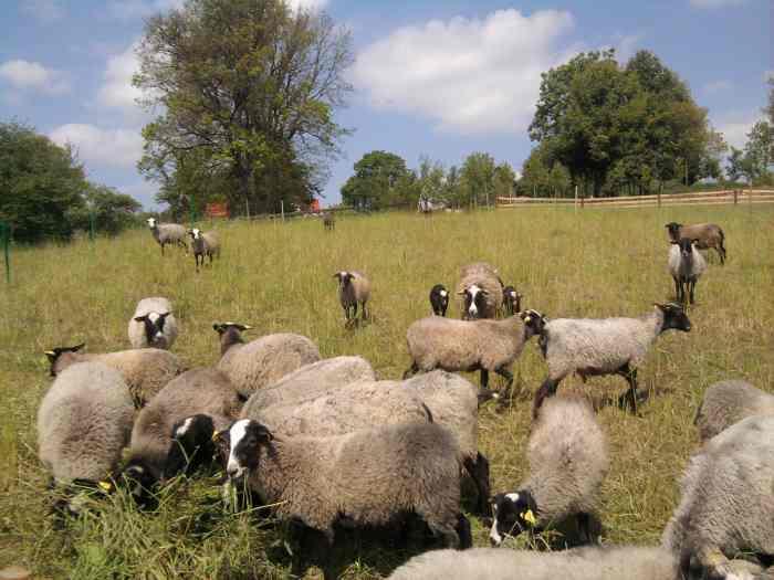 Romanovo veisles avys