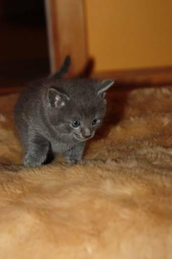 Rusu mėlyna kačiukai parduoti