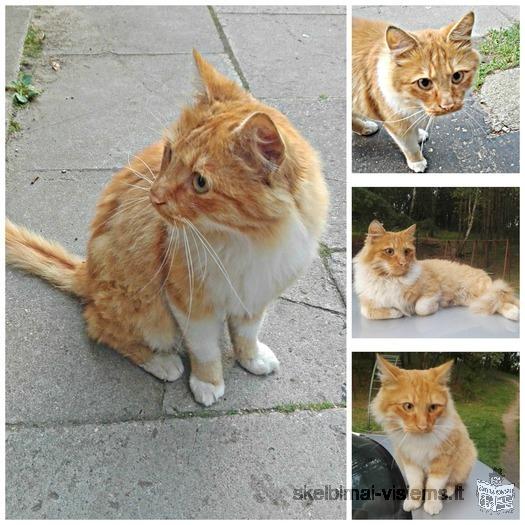 Ryžas katinas ieško namų