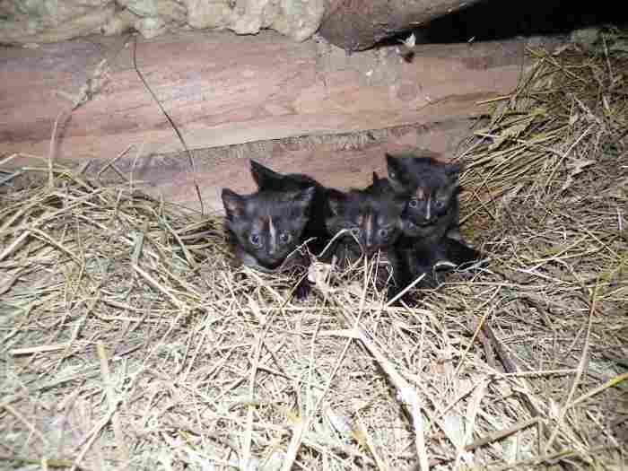 Skubiai dovanojami mažyčiai kačiukai!