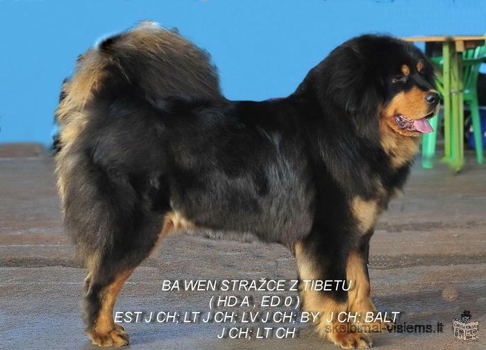 Tibeto mastifo šuniukai