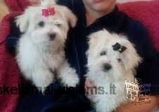 Veislės ir grynas balta Maltos šuniukai ateina priėmimo