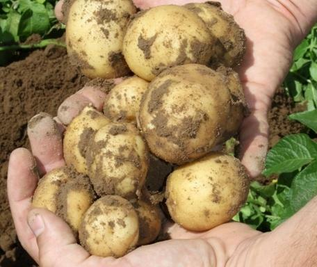 bulvės mišrūnės