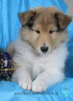 ilgaplaukių kolių (LESĖ) šuniukai su kilmės dokumentais